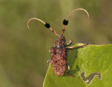 Longhorn beetle, Aristobia horridula