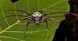 Longhorn beetle, Neocerambyse gigas, male