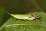Grasshopper atack by bug