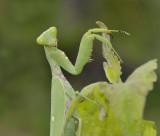Mantis, hierodula parciceps