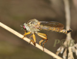 Robberfly, about 3 cm