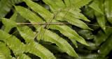 walkingstick, Clonaria sp. (new)