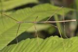 walkingstick, same Clonaria sp. male (new)