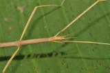 walkingstick Clonaria sp. female close