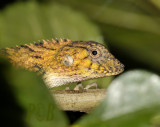 Golden agama, close
