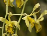 Dendrobium venustum, Phu foi lom, Thailand