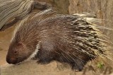 Asian porcupine