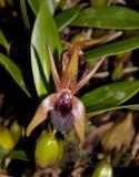 Epigeneium amplum  flower 7-8 cm across