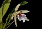 Helcia hybrida