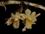 Dendrobium endertii