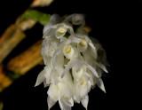 Dendrobium molle
