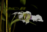 Dendrobium sp. latouria section