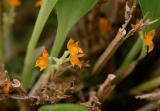Platystele stenostachia; orange form, flowers 1.5 mm