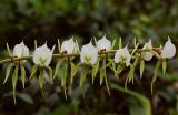 Angraecum eburneum, Madagascar,  flowers 8 cm