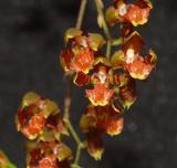 Oncidium lietzei, new name Baptistonia lietzei,  flower  0.5 cm
