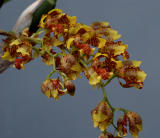 Oncidium lietzei; flowers 7 mm