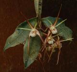 Dendrobium tetragonum; square bulps