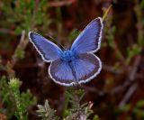 Heideblauwtje man, Kootwijkerveen