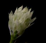 Dendrobium constrictum, close