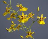 Oncidium lykaiosii, flowers 3 cm