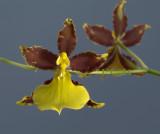 Oncidium hyphaematicum,  4 cm
