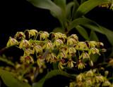 Dendrobium gracilicaule, flowers  1 cm