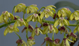 Dendrobium gracilicaule, close