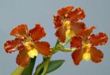 Otoglossum brevifolium, Flower  3.5 cm