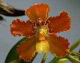 Otoglossum brevifolium, close