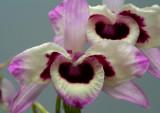 Dendrobium nobile var. coocksianum
