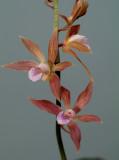 Tainia penangeana, flowers   4 cm