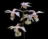 Calanthe arisanense, 3.5 cm