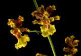 Oncidium cabagrae, 2 cm