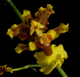 Oncidium cabagrae, close