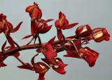 Mormodes rolfeanum, flowers 2.5 cm