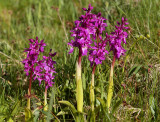 Mannetjesorchis, Orchis mascula ssp. mascula (early purple)