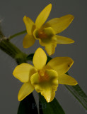 Dendrobium senile, Ueang Chani, flowers 3 cm