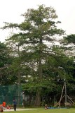 Kapok tree in the school grounds