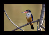 Black-capped Kingfishers