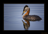 Red-necked Grebe 2010