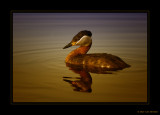 Red-necked Grebe & Sunset   2010