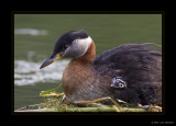 Red-necked Grebe & Chick 2010