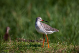 Waders & Shorebirds from Thailand