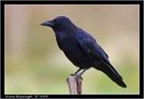 PC-crow.jpg