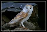 barn owl2.jpg