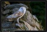 barn owl3.jpg