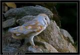 barn owl4.jpg