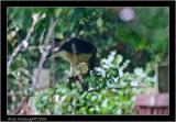 sparrowhawk 2 with wood mouse.jpg