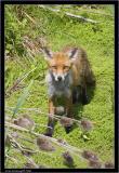 fox cub.jpg