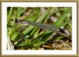 Damselfly species